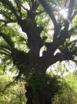 MVC tamarind tree